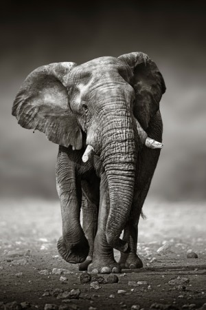 LEEM Wonen wildlife fotografie UMO Art Gallery olifant foto op plexiglas