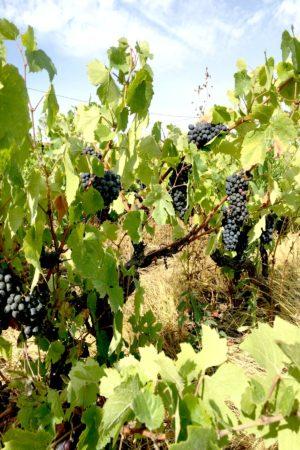 LEEM WONEN Vakantie 2017 Chateau St Vincent vineyards